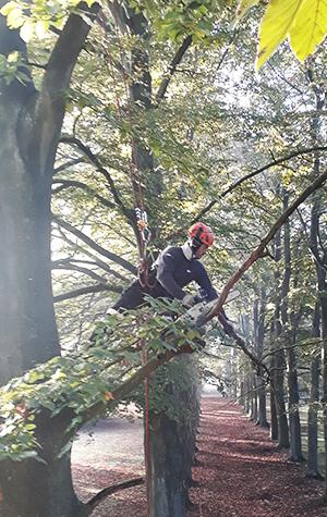 élagage dans un arbre par cordiste